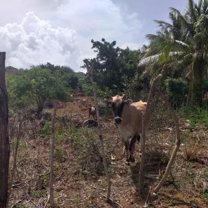 Terreno En Ventaen Cumarebo, Centro, Venezuela, VE RAH: 19-14371